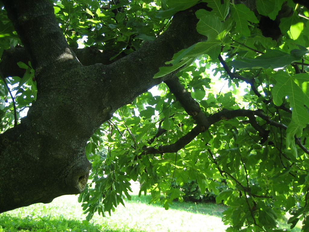 figomoro tree