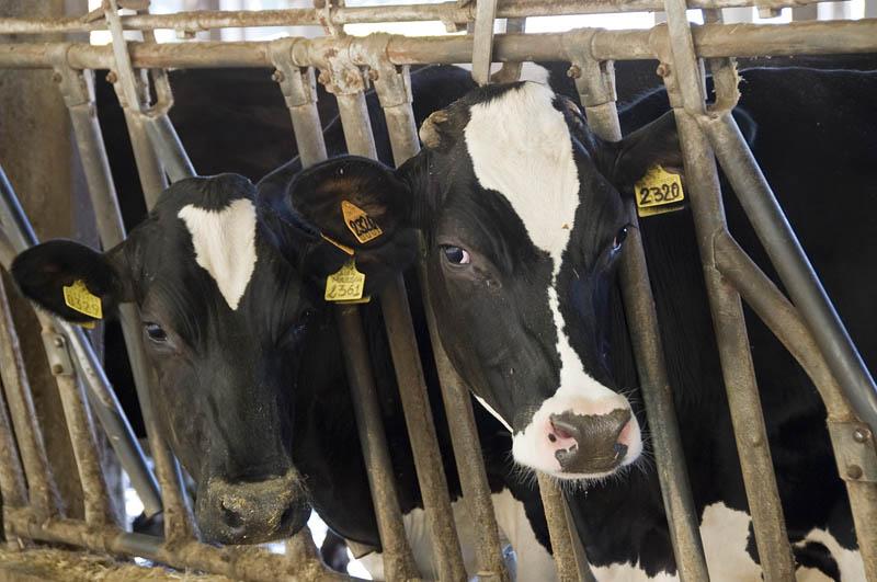 Vacche da Latte (2)