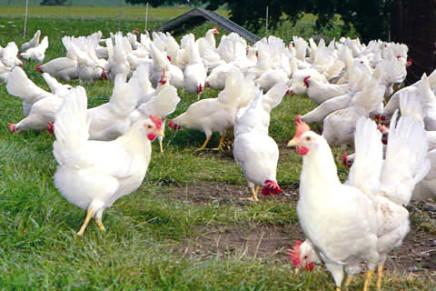 Ferrero: rewarded for choosing welfare for its hens