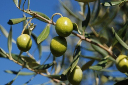 The intangible richness of the olive tree